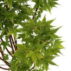 Acer Palmatum Winter Flame : C.5L