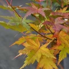 Acer Japonicum Limelight : C.5L