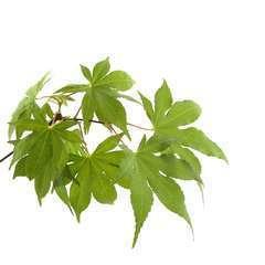 Acer Palmatum Osakasuki : C.5L
