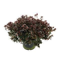 Azalea japonica ' Johanna':(carmin) 25 litres