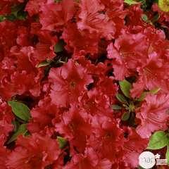 Azalea japonica 'Red Wing':(rouge soutenu) 25 litres