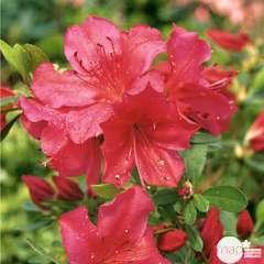 Azalea japonica 'Arabesk',(rouge cerise) 2 litres