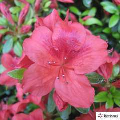 Azalea japonica 'Buccaneer':pot 2L