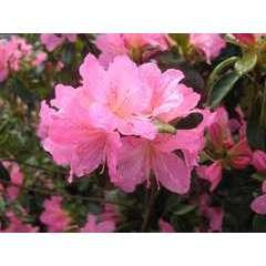 Azalea japonica ' Gilbert Mullier': (rose) 2 litres