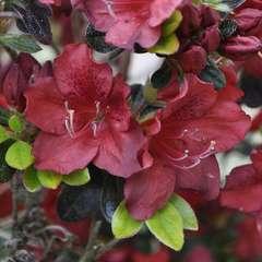 Azalea Japonica Galathea : C.5L