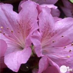 Azalea japonica ' Gilbert Mullier': 5 litres (rose)
