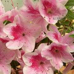 Azalea japonica 'Ho Oden':5 litres (blanc rosé)