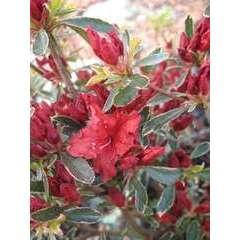 Azalea japonica 'Hot Shot Variegata',5 litres (rouge vif)