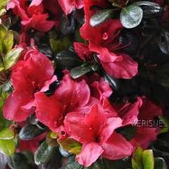 Azalea japonica ' Johanna':5 litres (carmin)