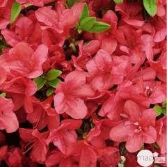Azalea japonica 'Manushka':pot 5L