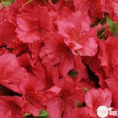 Azalea japonica ' Vuyk's Scarlet': 5 litres (rouge lumineux)
