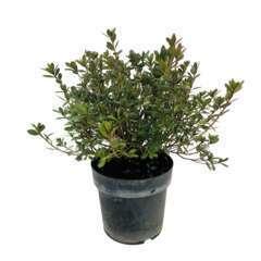 Azalea japonica ' Dorothy Haiden':7.5 litres (blanc)