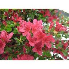 Azalea japonica ' Hino Crimson':7.5  litres (rouge vif)