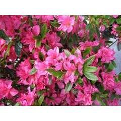 Azalea japonica 'Rosa King': 7.5 litres (rose indien)