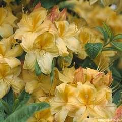 Azalea mollis 'Golden Sunset':pot 15L