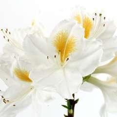 Azalea mollis 'Persil' : 4 litres (blanc macule jaune )