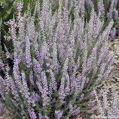 Calluna vulgaris 'Silver Knight' : C2L