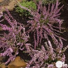 Calluna vulgaris 'Anne Marie': 3 litres (rose pâle)