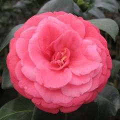 Camélia du Japon 'Bella Lamberti':pot 15L