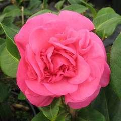 Camellia x 'Debbie': 15 litres  (rose cerise)