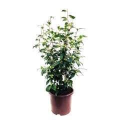 Camellia japonica 'Ed Combatalade' : C15L