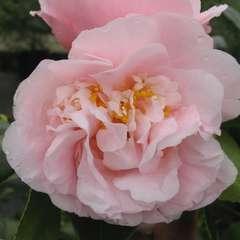 Camélia 'Hight Fragrance':pot 15L