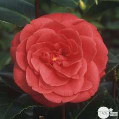 Camellia japonica 'Margherita Coleoni':15 litres (rouge)