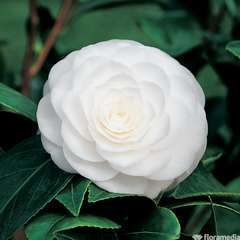 Camellia japonica 'Perfection White' : C15L
