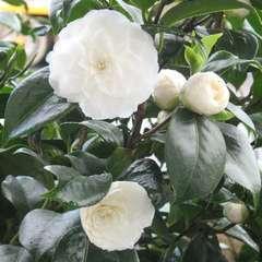 Camellia japonica 'Snow White ': 15 litres (blanche)