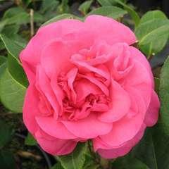 Camellia x 'Debbie': 2 litres  (rose cerise)