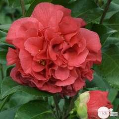 Camellia japonica 'Kramers suprème ': 2 litres (pourpre)