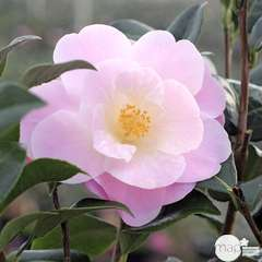 Camellia 'Nicky Crisp' : 2 Litres