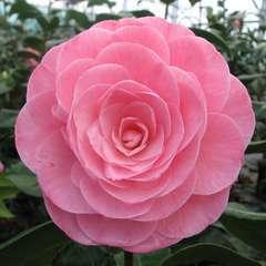 Camellia 'Nuccio's Cameo' : 2 Litres (rose saumon)