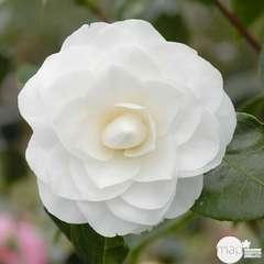 Camellia 'Nuccio's Gem' : 2 Litres (blanc pur)