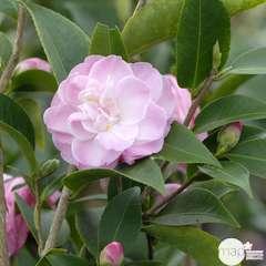 Camelia 'Sweet Jane' : 2 litres (rose clair)