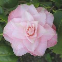 Camélia 'Baby Pearl':pot 7,5L