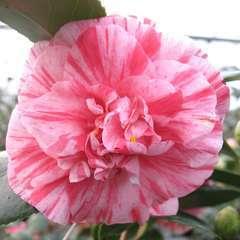 Camellia japonica 'Comte de Gomer' 7.5 litres (rose clair)