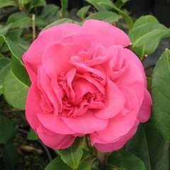 Camellia x 'Debbie': 7.5 litres  (rose cerise)