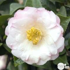 Camellia japonica 'Dr Tinsley ': 7.5 litres (blanc rosé et clair)