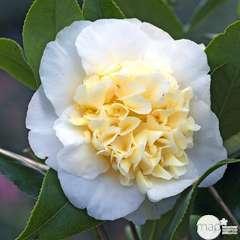 Camellia 'Jury's Yellow ': 7.5L (blanc et jaune crème)