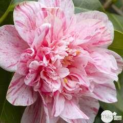 Camellia japonica 'Kick Off ': 7.5 litres (rose strié soutenu)