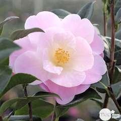 Camellia 'Nicky Crisp' :7.5 Litres  (rose pâle)