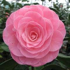 Camellia 'Nuccio's Cameo' : 7.5 L (rose saumon)