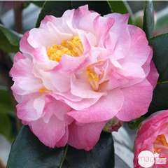 Camellia 'Nuccio's Jewel' : 7.5 Litres (blanche bordure rose)