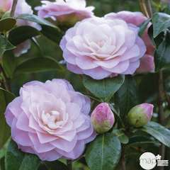 Camellia japonica 'Nuccio's Pearl ': 7.5  litres (rose pâle)
