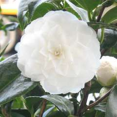 Camellia japonica 'Snow White ': 7.5 litres (blanche)