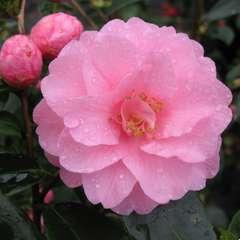 Camellia 'Spring Festival' : 7.5 Litres  (rose clair)