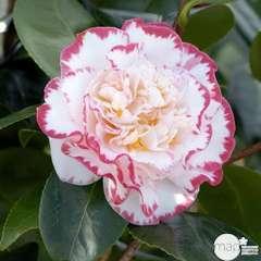 Camellia 'Margaret Davis' 35 Litres (blanc bordé rose)