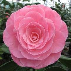 Camellia 'Nuccio's Cameo' : 35 L (rose saumon)