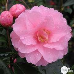 Camellia 'Spring Festival' : 35 Litres (rose clair)